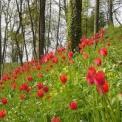 tulipaniacorte